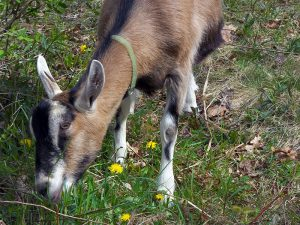 Brawley Made goat farming in vermont