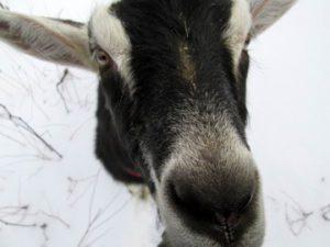 Brawley Made Goat Farming
